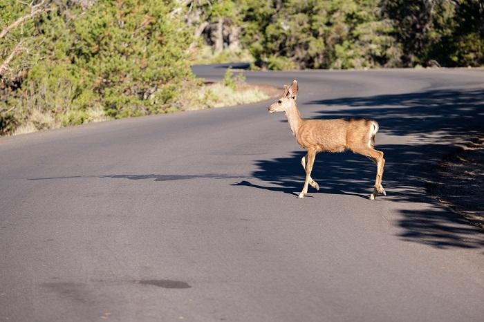 Deer collisions lg